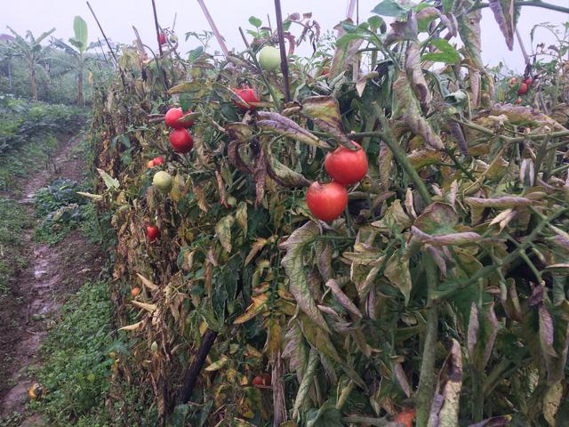 Cà chua tại vườn