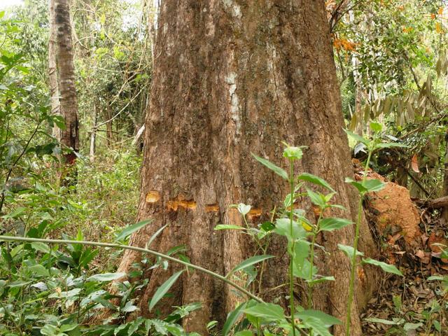 Hàng trăm cây rừng tự nhiên bị khoan lỗ, đổ thuốc độc